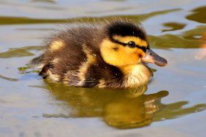 Mallard duckling in pond